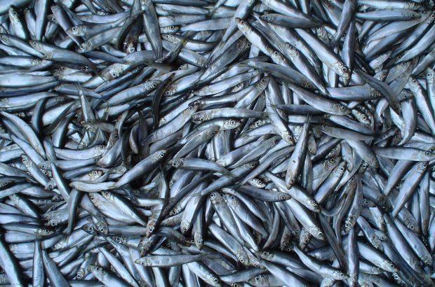 افزایش ۱۸ درصدی صید کیلکا در گیلان