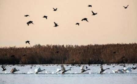 حضور گسترده پرندگان مهاجر در پناهگاه حیات وحش امیرکلایه