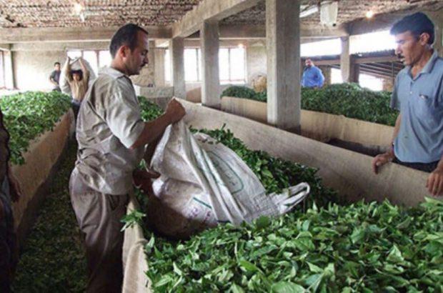 تسهیلاتی برای بهبود وضعیت باغات و کارخانجات چای کشور