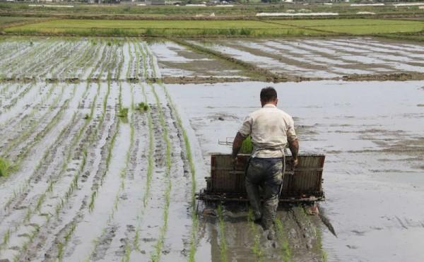 شالیکاران گیلانی هر چه سریعتر نسبت به نشاء برنج اقدام کنند