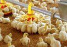 تولید روزانه ۶۰۰ تن مرغ در گیلان