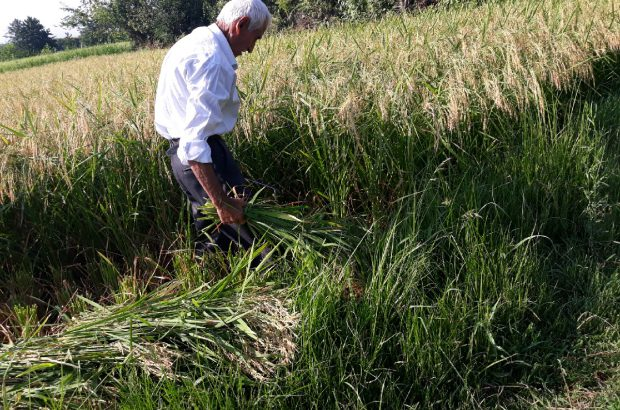 برداشت خوشههای طلائی برنج در گیلان
