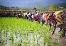 هشدار «نارنجی» هواشناسی کشاورزی در گیلان/ نسبت به جمعآوری و انتقال محصول اقدام شود