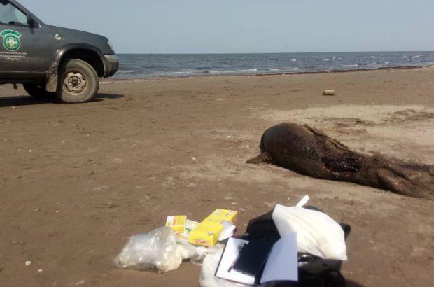 لاشه ۲ فُک خزری در سواحل بندرکیاشهر پیدا شد