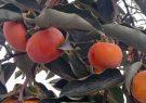 برداشت ۳۶۹ تن میوه خرمالو در رودسر